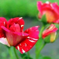 Мраморные розы. :: Валентина ツ ღ✿ღ