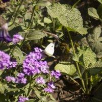 бабочка.... :: Алексей Медведев