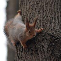 Белочка на дереве :: Ludmila Zinovina