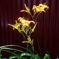Куст солнечных лилий... :: Тамара (st.tamara)