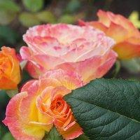Розы... :: Елена Смолова