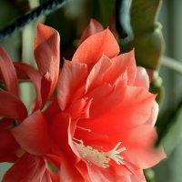 цветет кактус :: Мария Климова