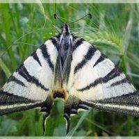 Бабочка Подалирий :: Эля Юрасова