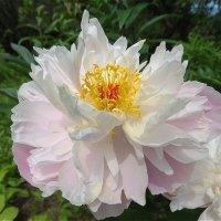 Первый раз цветёт :: Светлана Лысенко