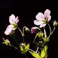 Герань луговая (Geranium pratense). :: Лазарева Оксана