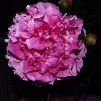 До сумерек, до сладкой полуночи,до третьих петухов — не от-цве-тай !!!!!!!! :: Galina Leskova