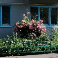 Роза под окном. :: Сергей Касимов
