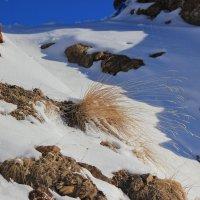 Травинки в снегу. :: Олег Петрушин
