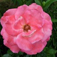 Атласные лепестки розы :: Елена Павлова (Смолова)