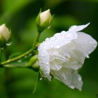 жасмин махровый :: Laryan1