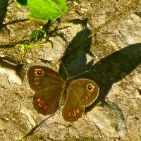 бабочка со зловещей тенью :: Елена