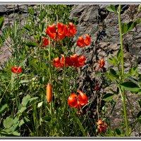 Цветы на скалах. :: Любовь Чунарёва