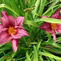 Цветёт лилейник... :: Тамара (st.tamara)