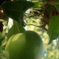 Зреет яблочко, зреет... :: Нина Корешкова
