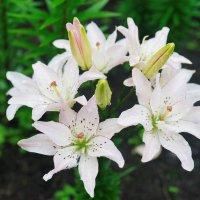 Цветы лета :: Юрий Шувалов
