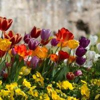Стамбульские тюльпаны :: Марат Рысбеков