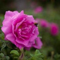Роза и Шмеле :: Степан Капуста