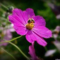 Пчелка на космее :: Андрей Заломленков