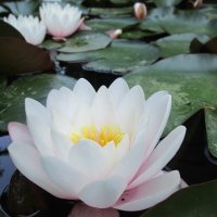 Тонкий аромат водяной лилии... :: Yelena Sievers