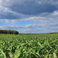 Кукуруза....кукуруза..... :: Валера39 Василевский.