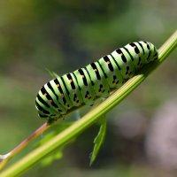 Гусеница  бабочки  Махаон :: Геннадий С.