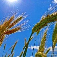 Колосится пшеница ... :: Galina Dzubina