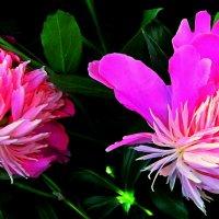 Розовая парочка :: Владимир Хатмулин