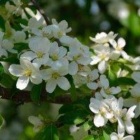 Весны цветенье... (этюд 2) :: Константин Жирнов