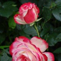 Как хороши, как свежи были розы! :: Svetlana27