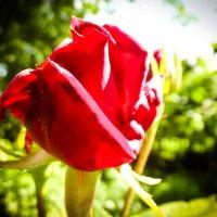 роза :: Володя Корнеюк