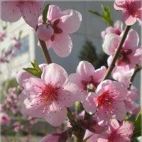 Цветы персика :: Эля Юрасова