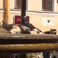 Голуби в фонтане на 7-ой линии ВО в СПб :: Алексей Корнеев