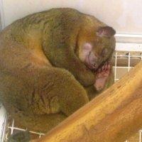 Кинкажу (медовый медведь) :: Самохвалова Зинаида