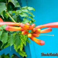 Красивый цветок Кампсис :: Наталья (ShadeNataly) Мельник