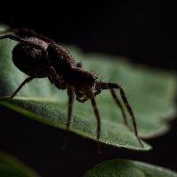 Самка паука-волка :: Николай Мелонов