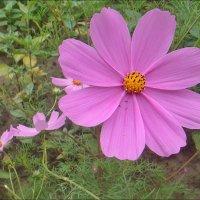 Пора цветения космеи :: Нина Корешкова