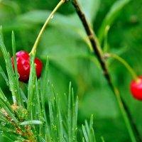 Зарисовки дачные. Когда в дожди на соснах вишни прорастают...:) :: Александр Резуненко