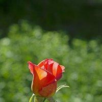 роза :: Виктория Жуланова