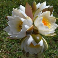 цветок лотоса. :: владимир ковалев