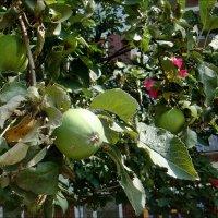 Яблоки и мальвы :: Нина Корешкова