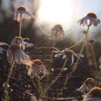 Ромашки в паутине :: Виктория Гончаренко