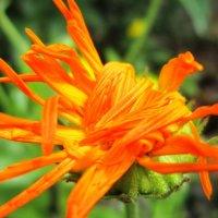 Непричёсанный цветок :: Юлия S