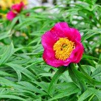 аленький цветочек (Марьин корень) :: vg154