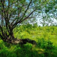 """"""" Танцующее """" дерево. :: Rafael"""