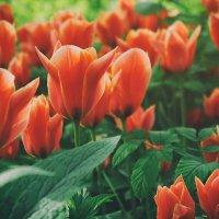 Тюльпаны :: Ксюша Забуга