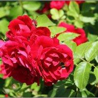 Опыляющий розы. :: Роланд Дубровский