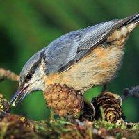 Поползень и муравей :: nikolas lang