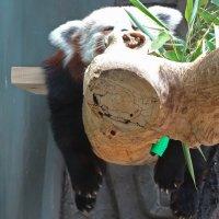 Тише, Панды спят! :: Паровозик из Ромашково Ж