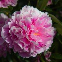 «...цветут последние пионы безумно нежной красотой…» :: Андрей Нибылица