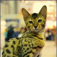 """Международный фестиваль кошек#  """"ЭКСПОКОТ"""" 2013 :: Дмитрий"""